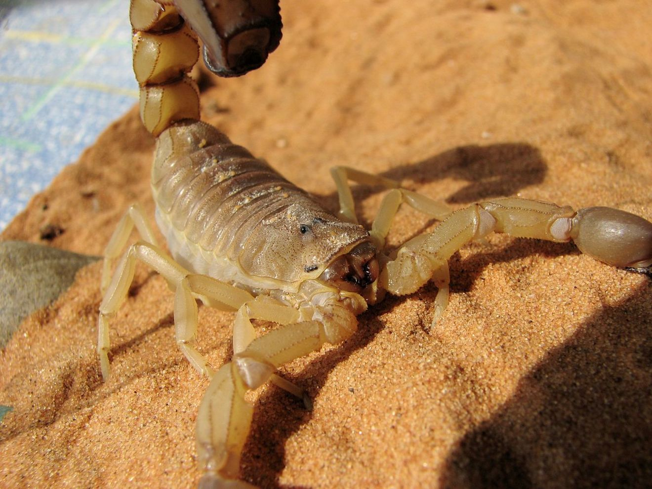 5分でわかるサソリ!最大のものや猛毒の種類、小食の秘密などを紹介