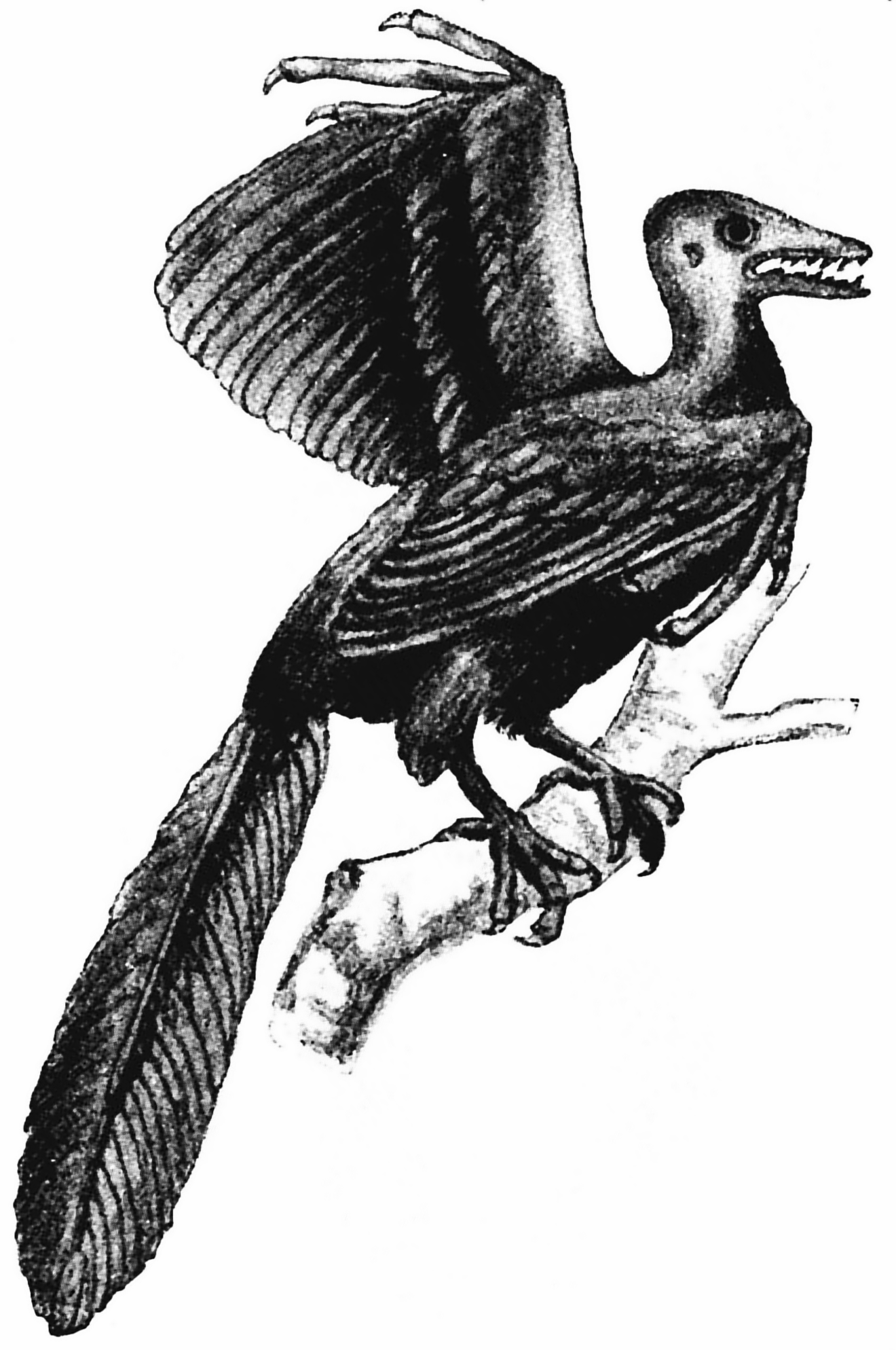 5分でわかる始祖鳥(アーケオプテリクス)の進化。鳥類なのか爬虫類なのか