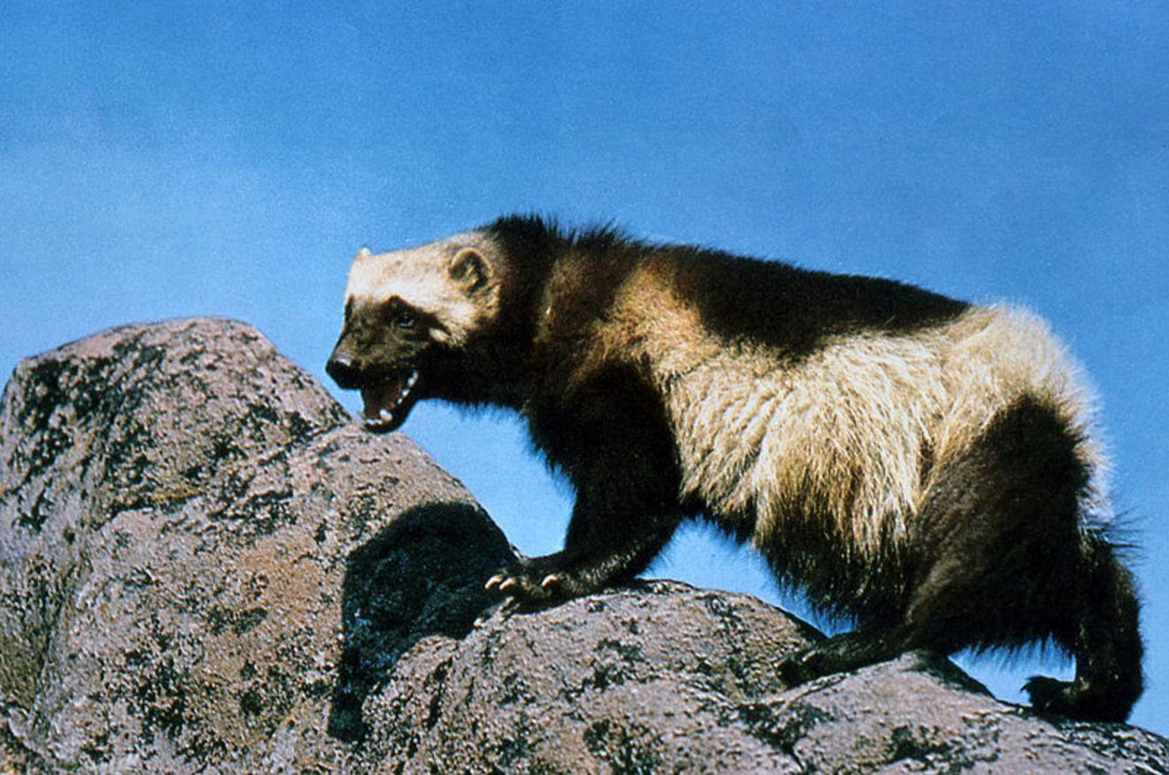 最強すぎるクズリの生態!クマやラーテルと戦ったら?天敵や性格なども解説